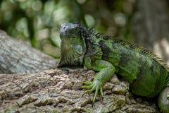 绿色鬣鳞蜥特写镜头在Lounging的在树 免版税库存照片