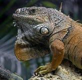 绿色鬣鳞蜥男性 库存图片