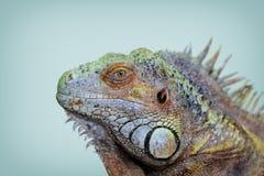 绿色鬣鳞蜥纵向 免版税库存图片