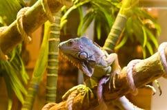 绿色鬣鳞蜥纵向 库存图片