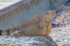 绿色鬣鳞蜥配置文件 免版税库存照片