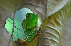 绿色鬣鳞蜥, 免版税库存照片