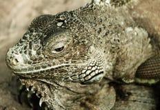 绿色鬣鳞蜥(鬣鳞蜥鬣鳞蜥) 免版税库存图片