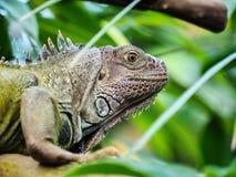 绿色鬣鳞蜥 图库摄影