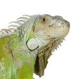 绿色鬣鳞蜥 库存图片