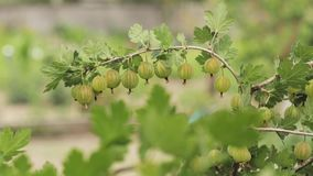 绿色鹅莓 在醋栗灌木丛分支的生长有机莓果特写镜头  成熟鹅莓在果子庭院里 股票录像