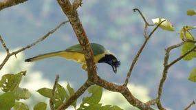 绿色鹊Cyanocorax yncas吃 免版税图库摄影