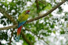 绿色鹦鹉伟大绿的金刚鹦鹉,在好朋友树的Ara ambigua 野生稀有人物在自然栖所,坐分支在哥斯达黎加 图库摄影