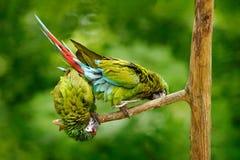 绿色鹦鹉军事金刚鹦鹉, Ara militaris,哥斯达黎加 野生生物场面形式自然 在森林两鹦鹉的动物行为在 免版税库存照片