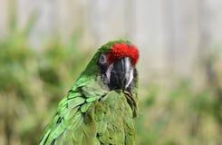 绿色鹦鹉/伟大的绿色金刚鹦鹉/Ara ambiguus 库存照片