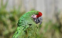 绿色鹦鹉/伟大的绿色金刚鹦鹉/Ara ambiguus 免版税库存图片