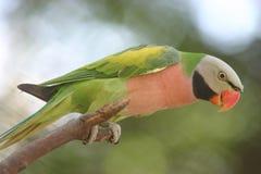 绿色鹦鹉 免版税库存图片