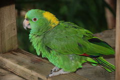 绿色鹦鹉 图库摄影