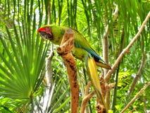 绿色鹦鹉 免版税图库摄影
