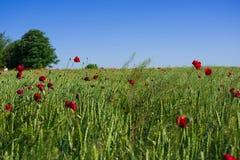 绿色麦子和红色鸦片的领域在太阳下 免版税图库摄影