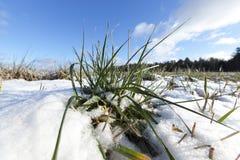 绿色麦子在冬天 免版税图库摄影
