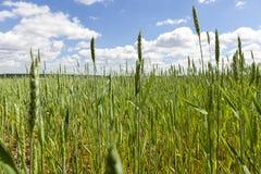绿色麦子年轻人 库存照片