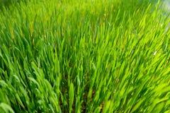 绿色麦子玻璃 免版税库存照片