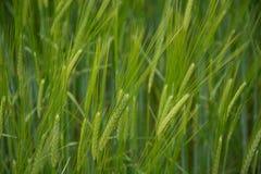 绿色麦子的耳朵在前景的 库存图片