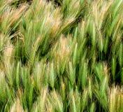 绿色麦子背景  免版税图库摄影
