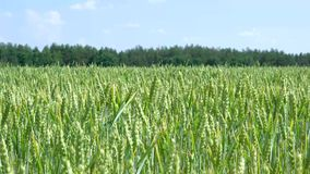 绿色麦子茎在风吹 影视素材