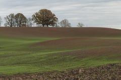 绿色麦子风景在农业领域和背景发芽与橡树 库存图片
