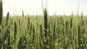 绿色麦子 生长和收获的概念 股票录像