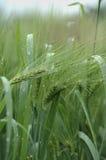 绿色麦子 免版税库存照片