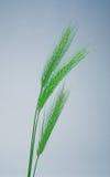 绿色麦子 库存照片
