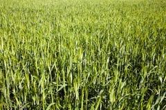 绿色麦子 免版税库存图片