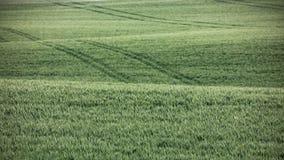 绿色麦田在夏天 免版税库存照片