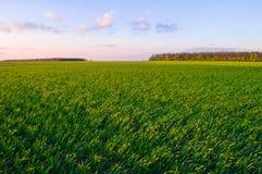 绿色麦田在早期的春天在蓝天下 免版税库存照片