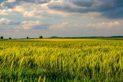 绿色麦田在温暖的阳光在剧烈的天空下,新充满活力的颜色下 库存照片