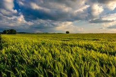 绿色麦田在温暖的阳光在剧烈的天空下,新充满活力的颜色下 免版税库存图片