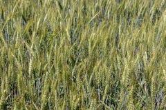 绿色麦田特写镜头 谷物的耳朵 谷物概念 麦子收获概念 农村的横向 免版税库存图片