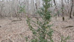 绿色黄杨木潜叶虫灌木 影视素材