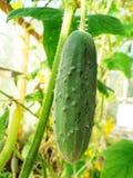 绿色黄瓜 免版税库存图片