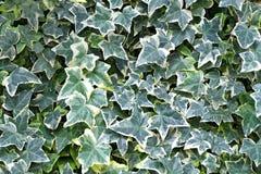 绿色黄色常春藤叶子的花纹花样 免版税库存图片