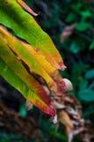 绿色黄褐色和红色叶子烘干 库存图片