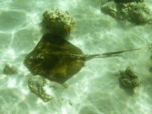 绿色黄貂鱼 库存照片