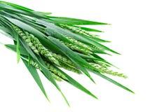 绿色黑麦峰值 免版税库存图片