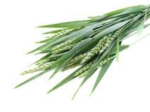 绿色黑麦峰值 库存图片