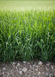 绿色黑麦 免版税库存照片