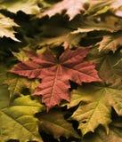 绿色,红色和棕色树荫槭树叶子  免版税库存照片