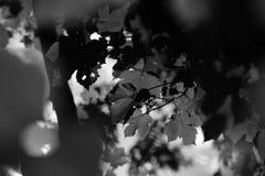 绿色Acer Campestre迷离背景 免版税库存照片