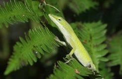绿色Anole蜥蜴 免版税库存照片