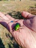 绿色Buprestidae珠宝甲虫,金属木头乏味甲虫, Sternocera aequisignata 库存照片