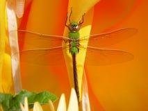 绿色darner蜻蜓   库存图片