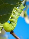 绿色Fruitworm 免版税库存图片