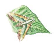 绿色hawkmoth 免版税库存照片